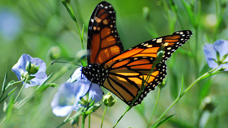 August 2016 - Friends of the Monarch Trail