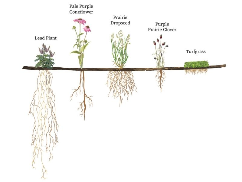 Root Length is a benefit of Native plants