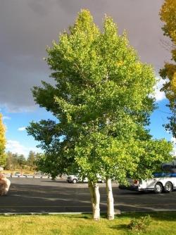 tree_narrow_w.jpg